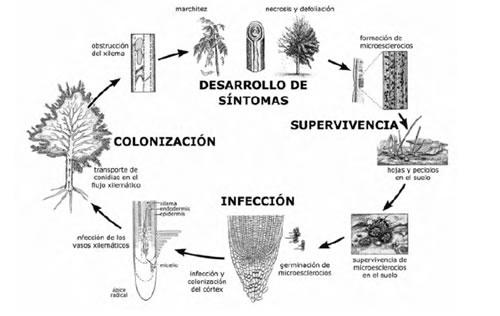 Verticilosis