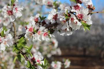 Plantación de almendros y otros frutales