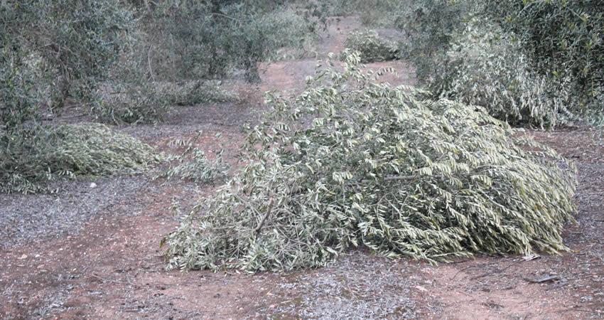 Olivar tradicional, olivar intensivo u olivar superintensivo