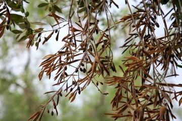 Tratamientos contra enfermedades y plagas del olivo