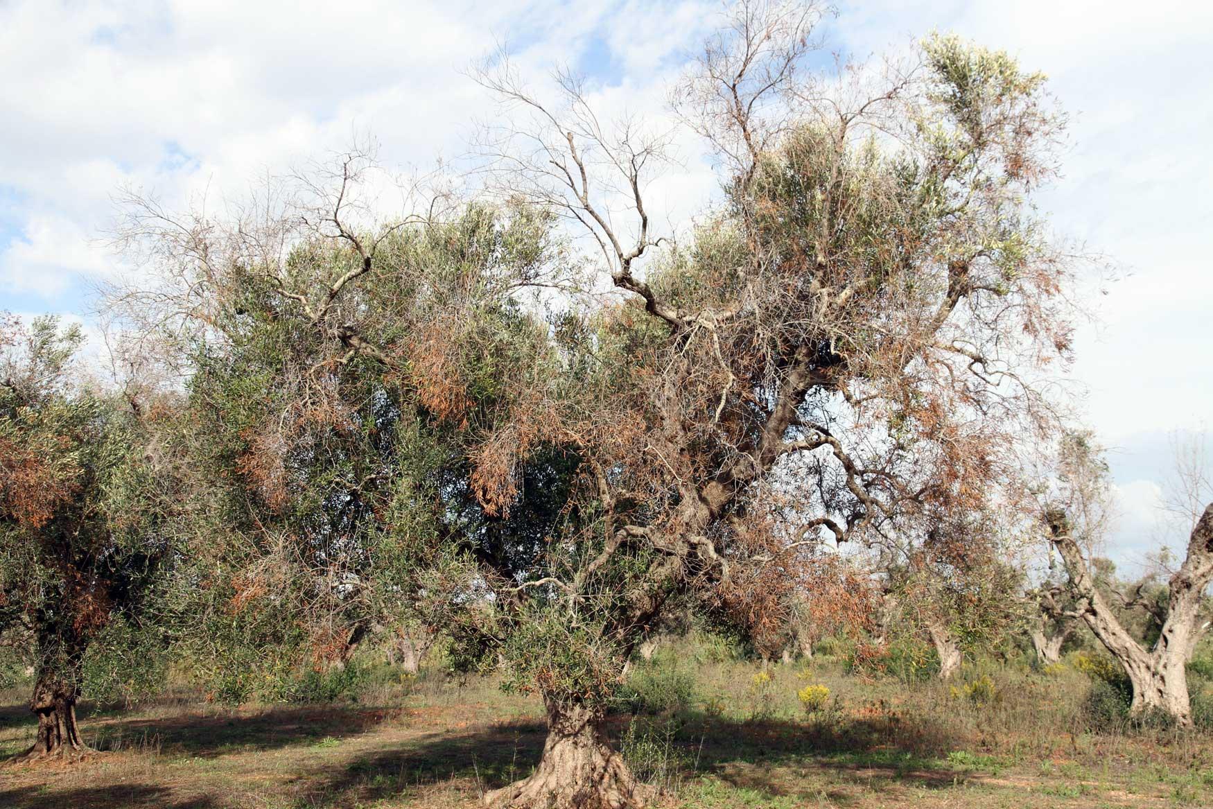 Árbol severamente afectado